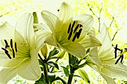 Yellow Trees Posters - Lilies in nature Poster by Kristin Kreet