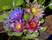 Waterlily Prints - Lilies No. 11 Print by Anne Klar