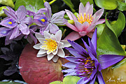 Waterlily Art - Lilies No. 15 by Anne Klar
