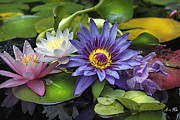 Waterlily Prints - Lilies No. 16 Print by Anne Klar