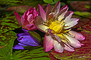 Waterlily Prints - Lilies No. 20 Print by Anne Klar