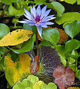 Waterlily Prints - Lilies No. 24 Print by Anne Klar