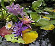 White Water Lily Posters - Lilies No. 7 Poster by Anne Klar