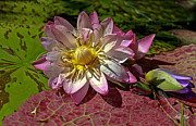Waterlily Art - Lilies No.19 by Anne Klar