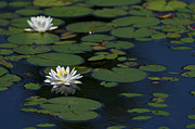 White Water Lilies Photos - Lilies on the Pond.. by Nina Stavlund