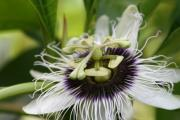 Flowering Vines Posters - Lilikoi Passion Flower Passiflora edulis forma flavicarpa Poster by Sharon Mau