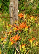 Day Lilly Photos - Lillies by Fence Post by Laurinda Bowling