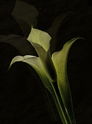 Calla Lilly Prints - Lilly Fantasy V Print by Bruce Bain