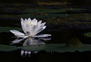 Water Lilly Acrylic Prints - Lilly of the water Acrylic Print by Michel Soucy