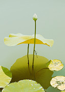 Lilly Pad Umbrella. Print by Greg Gwynne