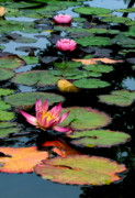 Mediative Framed Prints - Lilly Pads Framed Print by Jan Cipolla