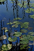 Lilly Pads Framed Prints - Lilly Pads Framed Print by Robert Harmon