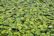 Lilly Pad Photos - Lilly Pond by John Greim