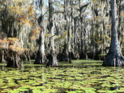 Cypress Swamps Framed Prints - Lillypads Still Water Framed Print by Joy Tudor