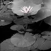 Lotus Pond Framed Prints - Lily Bali Framed Print by Andy Frasheski