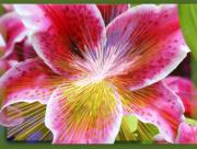 Burst Mixed Media Prints - Lily Burst Print by Cathie Tyler