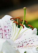 Fragrant Flowers Prints - Lily Close Up Print by Robert Bales