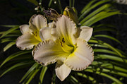Macro Photography Posters - Lily Flower in Sunlight Poster by Scott McGuire