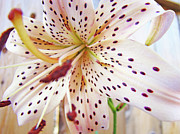 Tiger Lilies Framed Prints - LILY FLOWER White Lilies Art Prints Baslee Troutman Framed Print by Baslee Troutman Fine Art Prints Collections