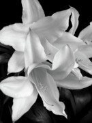 Lilies Posters - Lily Flowers Black and White Poster by Jennie Marie Schell