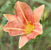 Oregon Flowers Posters - Lily in a haze Poster by Cathie Tyler