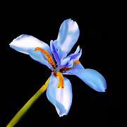 Lily In Blue Print by Lyle  Huisken