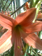 Bgi Gadgil - Lily in sunshine