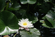 Pond Greeting Cards Digital Art - Lily Life by Alan Rutherford