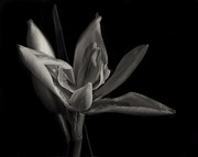 Black And White Digital Art Posters - Lily Poster by Mario Celzner