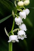 Lily Of The Valley Print by Bobbi Smith