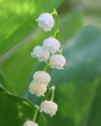 Thrive Prints - Lily Of The Valley Print by Crystal Garner