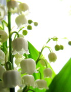 Lily Of The Valley Posters - Lily of the Valley II Poster by Lisa Jayne Konopka