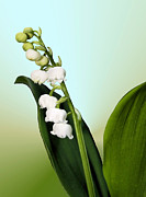 Fragrant Framed Prints - Lily of the Valley Framed Print by Kristin Elmquist