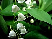 Spring Prints - Lily of the Valley  Print by Michelle Calkins