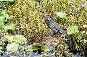 Lily Pad Photo Posters - Lily Pad Alligator Poster by Scott Hansen