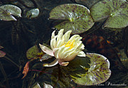 Horticultural Originals - Lily Pad Flower 2 by Rob Nelms