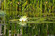 Rob Nelms - Lily Pad Flower...