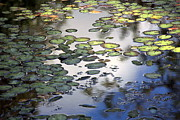 Martina Fagan - Lily Pad Pond