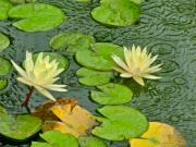 Lily Pad Photo Posters - Lily Pad Pond Petals Poster by Richard Mansfield