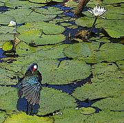 Jacqueline Limoges - Lily Pad With Bird2