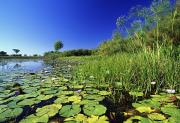 Pond Photography Photos - Lily Pads In A River, Okavango Delta by Axiom Photographic