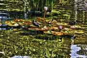 Lily Pad Photo Posters - Lily Pads in the Pond Poster by Madeline Ellis