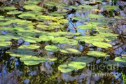 Florida Swamp Prints - Lily Pads in the Swamp Print by Carol Groenen