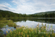 White Mountains New Hampshire Posters - Lily Pond - White Mountains New Hampshire USA Poster by Erin Paul Donovan