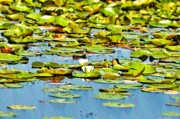 Bass Fishing Prints - Lily Pond Print by Bill Cannon