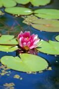 Lilies Tapestries - Textiles - Lily Pond by Donna Bentley