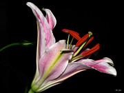 Black Background Mixed Media - Lily Profile by Ms Judi