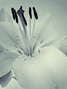 Lily Print by Sarah Couzens