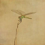 Dragonfly Framed Prints - Lime Green Dragonfly Framed Print by Paul Grand Image