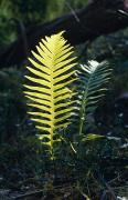 Forest Floor Posters - Lime Green New Growth Fern Fronds Poster by Jason Edwards